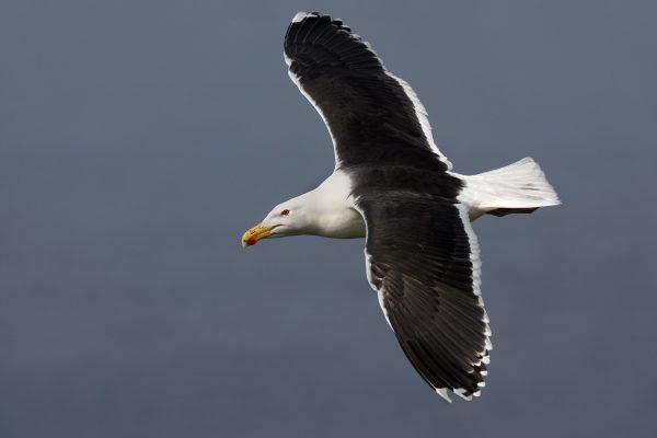 great-black-backed-gull-in-flight