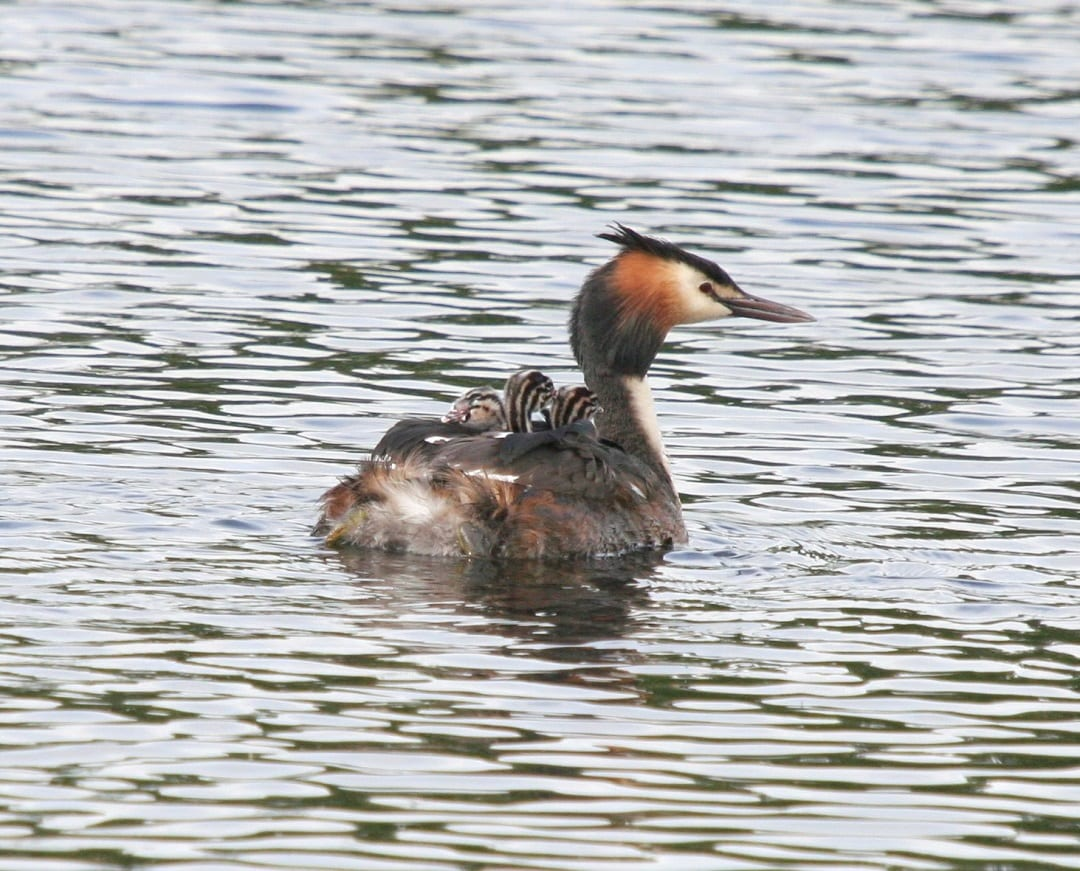 great-crested-grebe-swimming-with-three-chicks-on-back