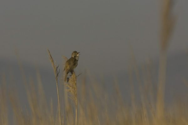great-reed-warbler-perched-on-reed