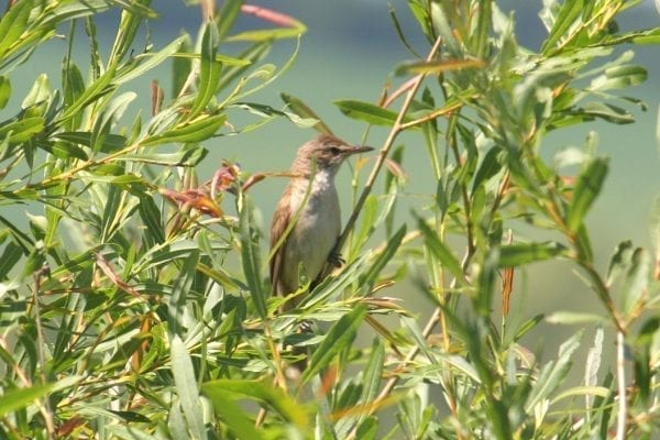 great-reed-warbler-hiding-amongst-willow