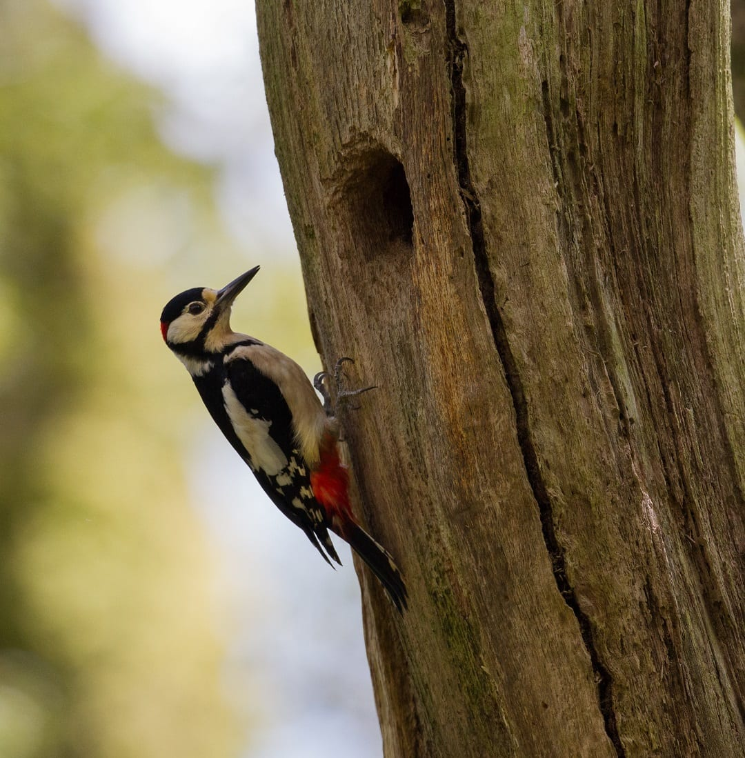 great-spotted-woodpecker-on-tree-next-to-nest-hole