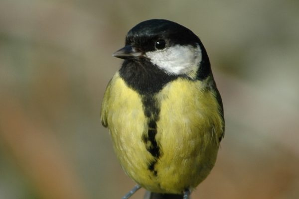 great-tit-perched-on-wooden-fence-close-up