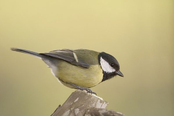 great-tit-perched-on-top-of-branch