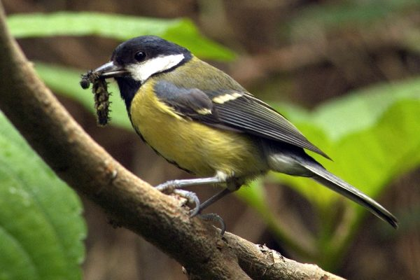 great-tit-on-branch-with-caterpillar-prey-in-beak