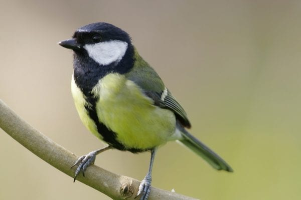great-tit-perched-on-branch