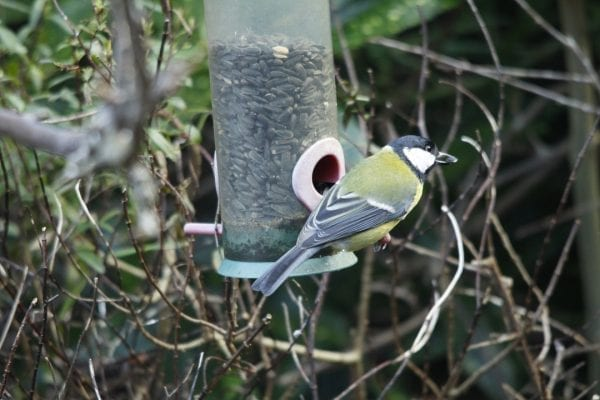 great-tit-on-feeder-showing-back-plumage