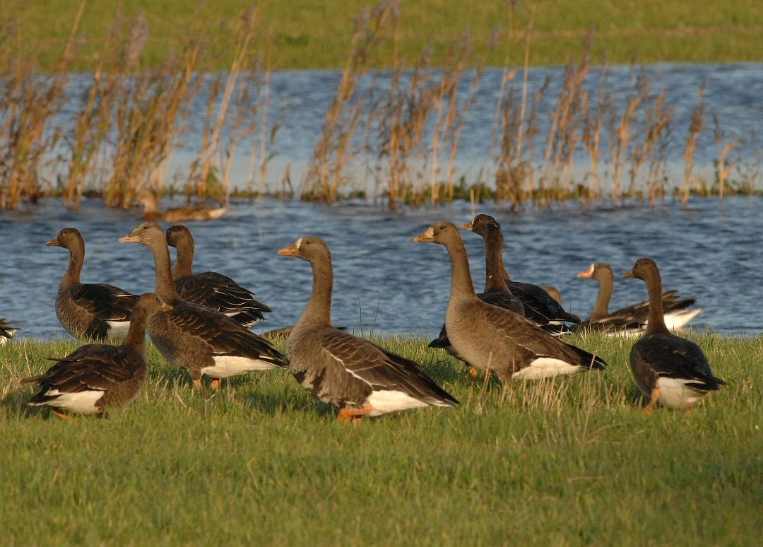 numerous-great-white-fronted-geese-grazing-next-to-water