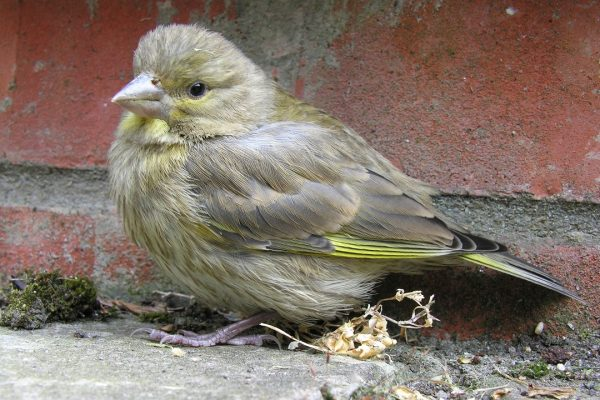 greenfinch-juvenile-male-on-ground
