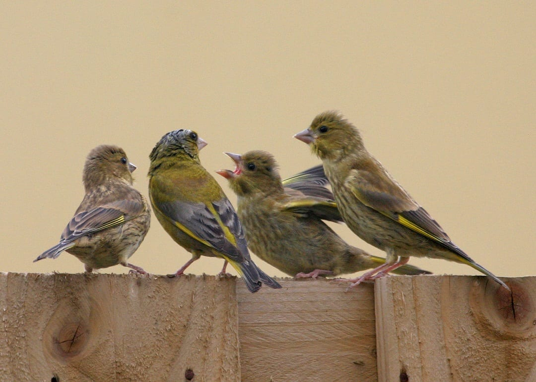 greenfinch-parent-and-juveniles-on-wooden-fence