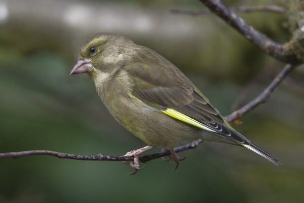 greenfinch-perched-on-twig
