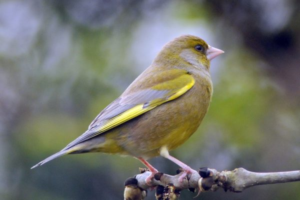 greenfinch-perched-on-ash-branch