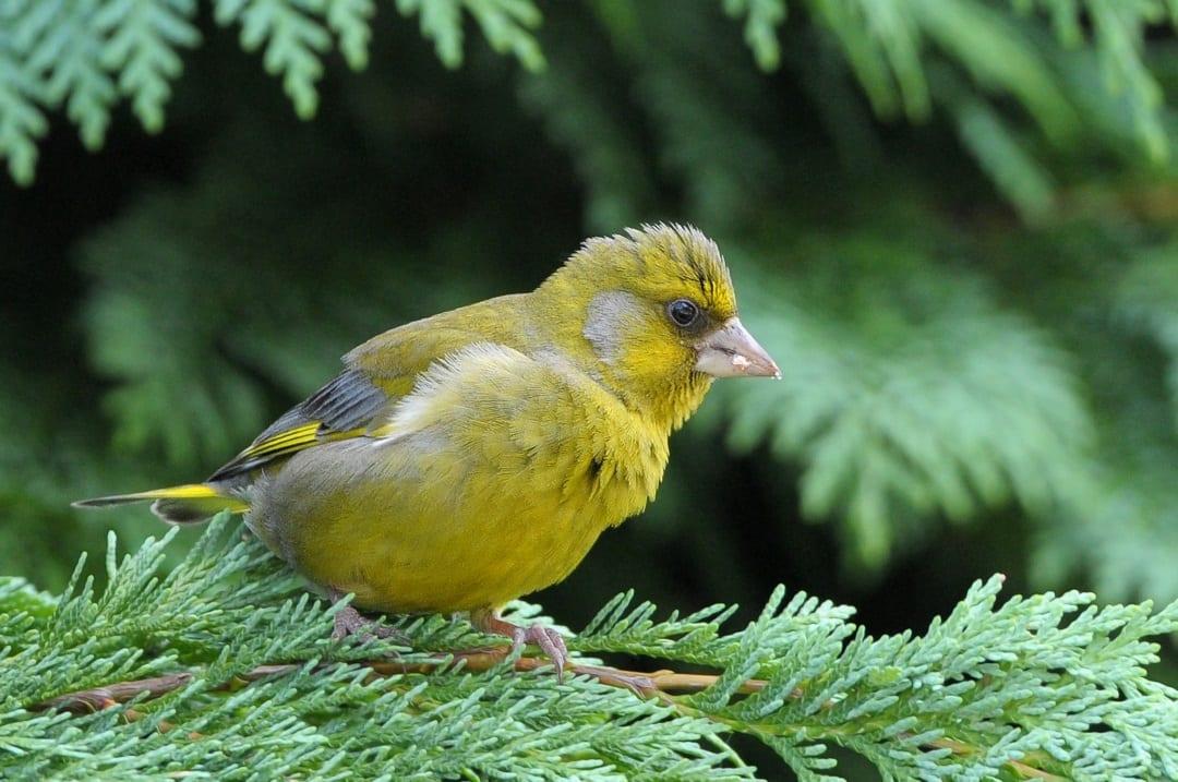 greenfinch-perched-on-leylandii-branch