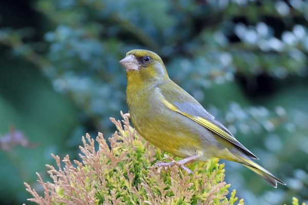 greenfinch-male-showing-yellow-emargination-on-wing