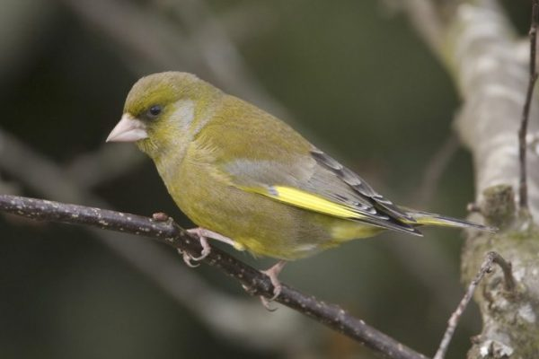greenfinch-perched-on-branch-looking-towards-ground