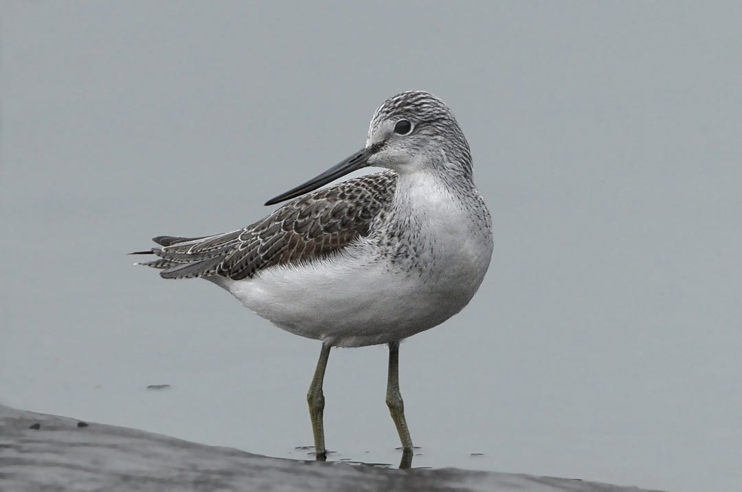 greenshank-wading-in-shallow-water