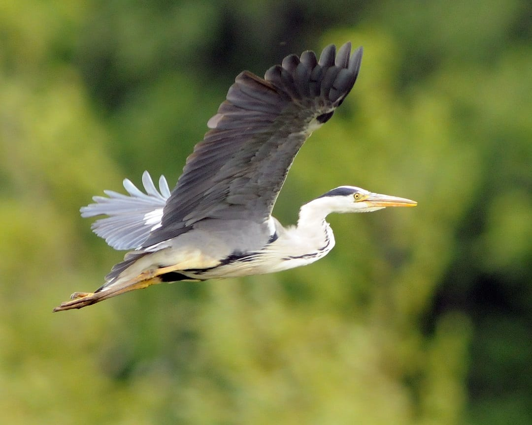 grey-heron-in-flight-green-trees-background