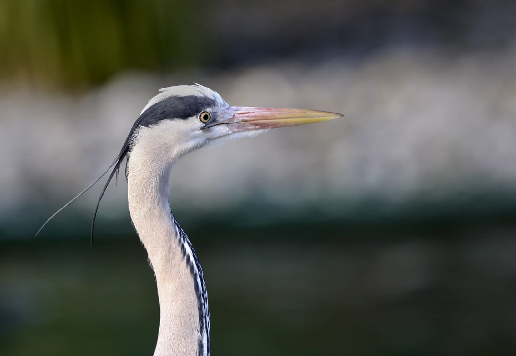 grey-heron-close-up-side-profile-of-head