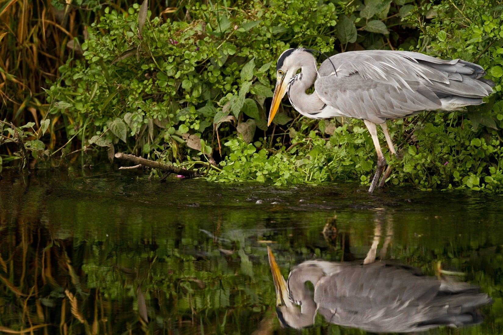 grey-heron-hunting-at-waters-edge