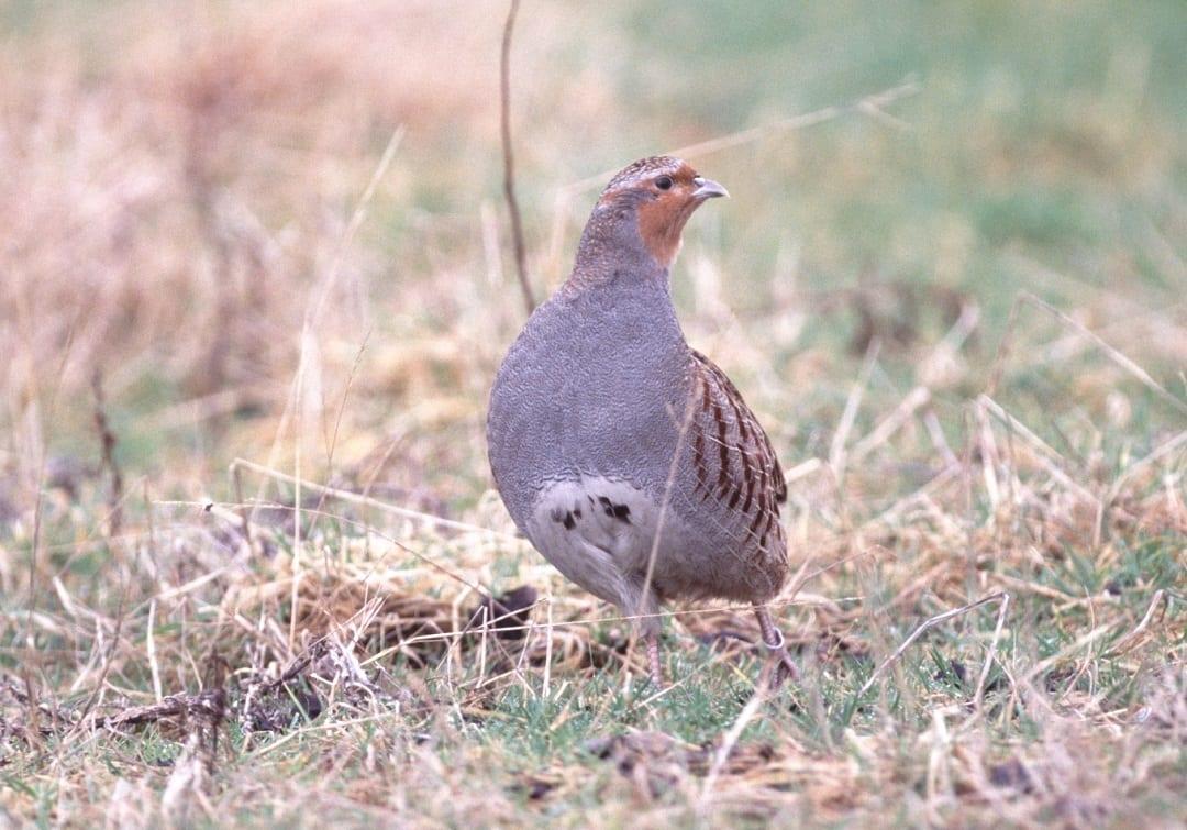 grey-partridge-standing-in-rough-grassland