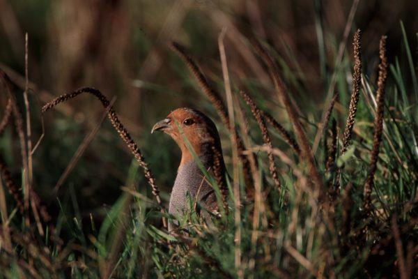 grey-partridge-hiding-amid-plantain