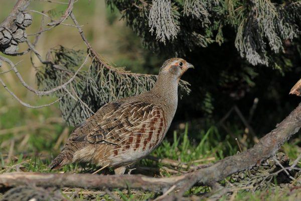 grey-partridge-foraging-under-leylandii-tree