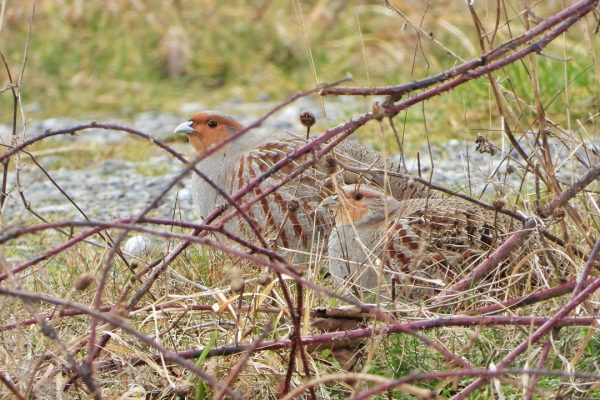 a-pair-of-grey-partridges-hiding-in-brambles
