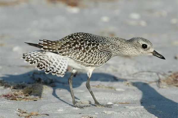 grey-plover-foraging-on-sandy-shore