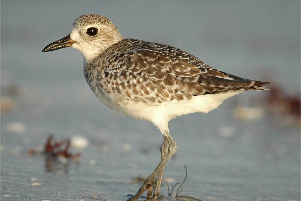 grey-plover-on-seashore