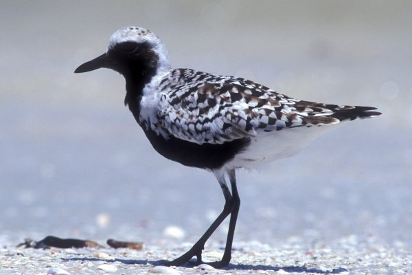 grey-plover-black-and-white-summer-plumage