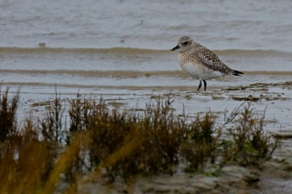 grey-plover-foraging-on-seashore