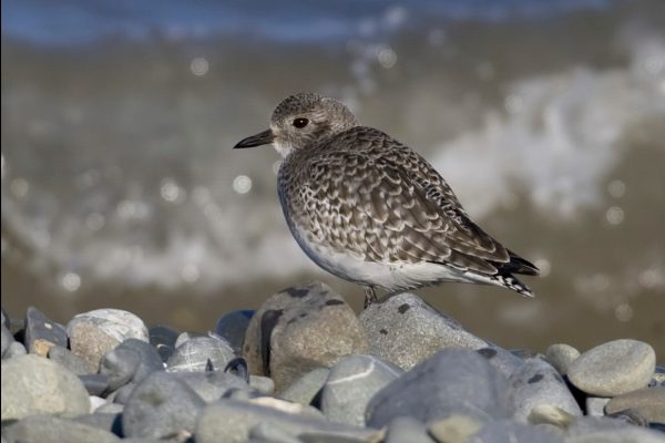 grey-plover-resting-on-shingle-beach
