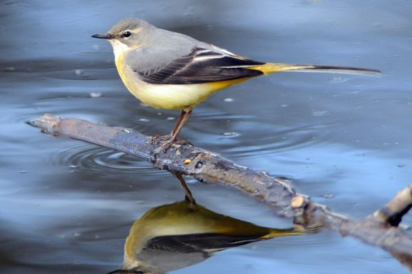 grey-wagtail-perched-on-branch-over-water