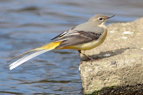 grey-wagtail-on-stone-above-water