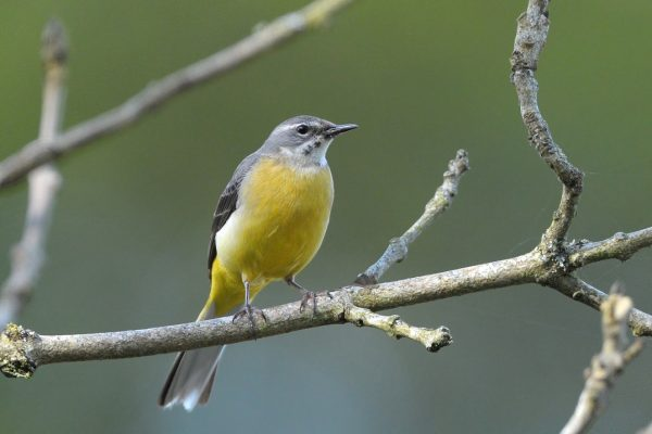 grey-wagtail-perched-on-branch-showing-yellow-breast-and-rump