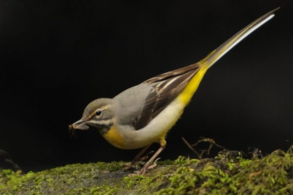 grey-wagtail-on-mossy-rock-with-insect-prey-in-beak