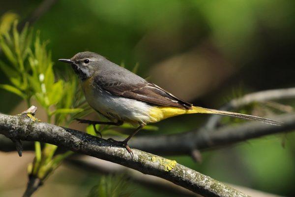 grey-wagtail-walking-along-branch