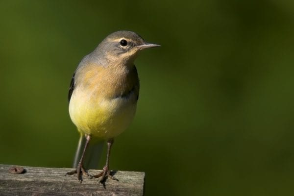 grey-wagtail-standing-on-wooden-fence
