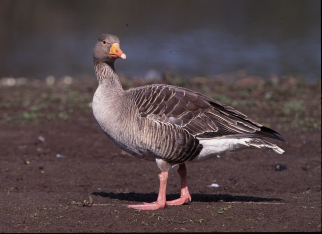 greylag-goose-walking-on-sandy-bank
