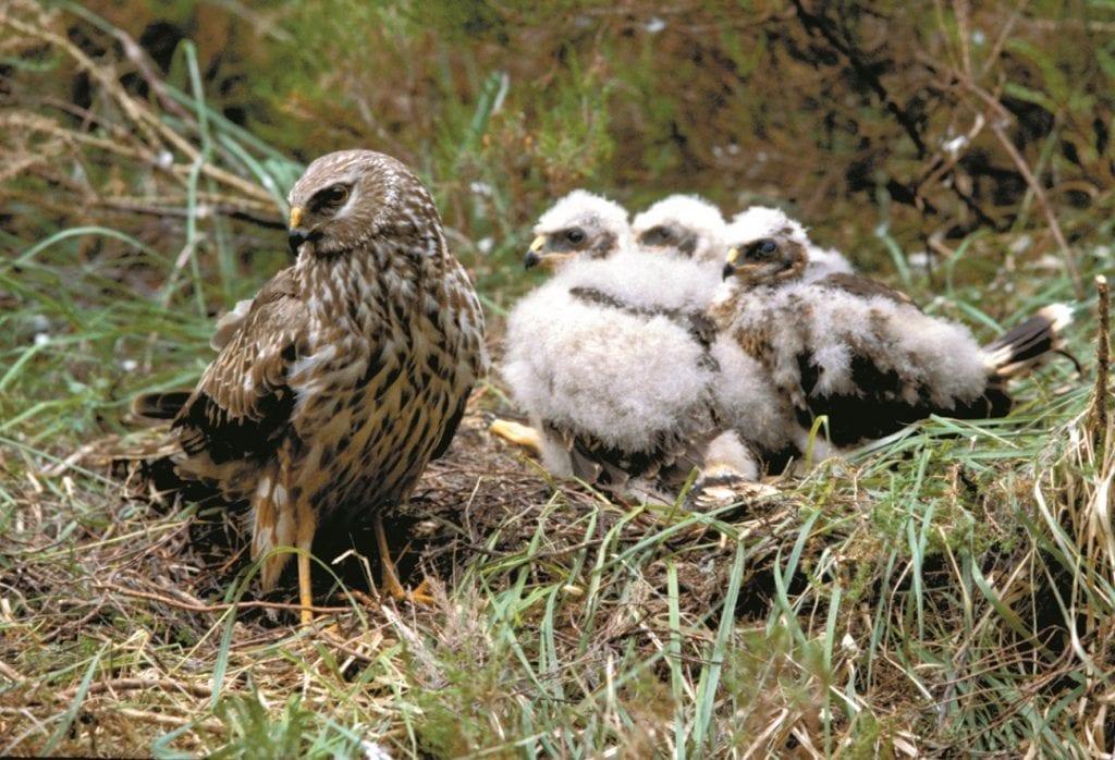 hen-harrier-with-chicks-on-nest