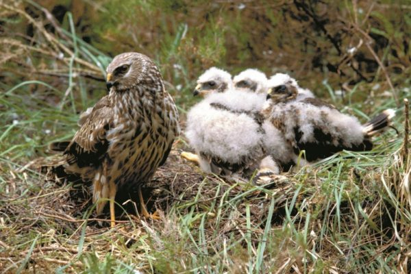 hen-harrier-with-chicks-on-nest