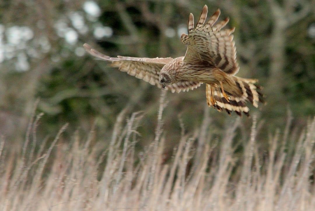 hen-harrier-in-flight-hunting