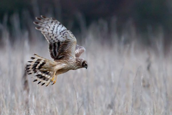 hen-harrier-in-flight-over-hunting-territory