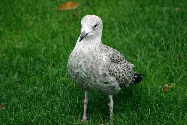 herring-gull-juvenile-mottled-plumage