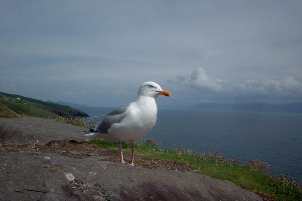 herring-gull-standing-on-rock-panoramic-sea-and-mountain-view-background
