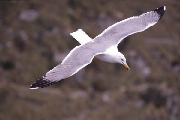 herring-gull-in-flight