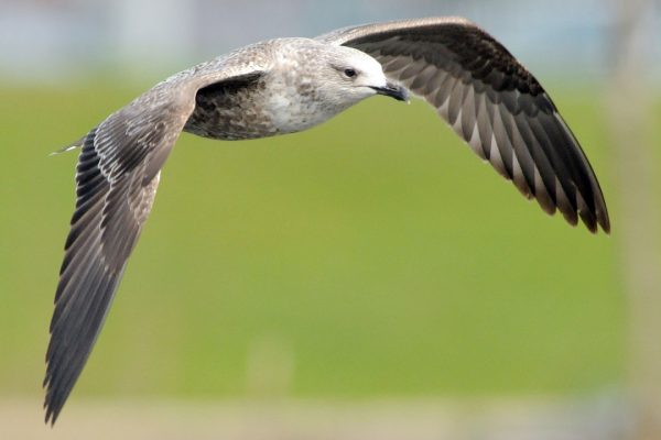 herring-gull-juvenile-in-flight