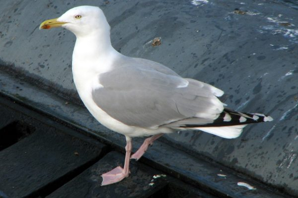 herring-gull-adult-grey-wings-plumage
