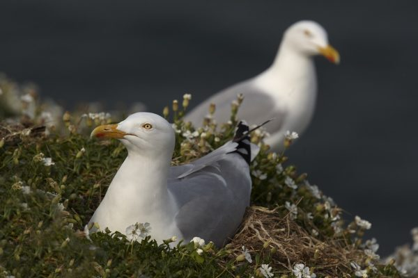 herring-gull-on-nest