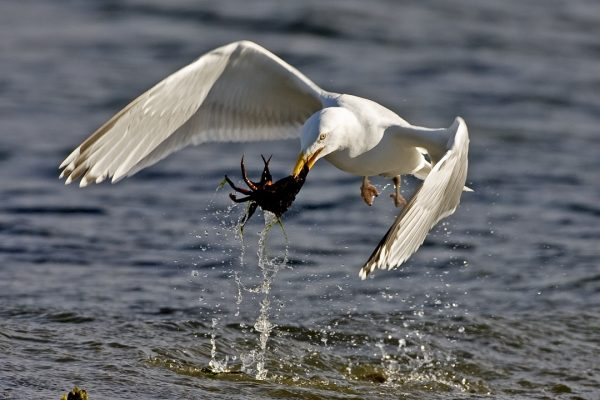 herring-gull-flying-with-crab-prey-in-beak