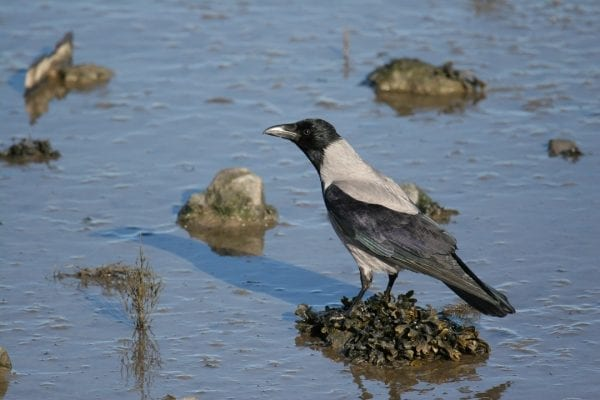 hooded-crow-standing-on-seaweed-tussock-in-estuary